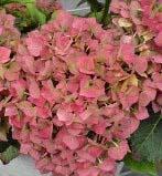 Hortensia er en vakker plante