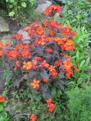 Favorittplanten: Stjernetjæreblomst