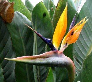 Opplevelsesrike Madeiras mest kjente blomst; Strelitzia. Kommer opprinnelig fra Sør-Afrika. Blomsten kalles også Paradisfugl og er i samme familie som banan. Strelitzia er fargesprakende. Den fins i mange varianter. Blomstene dukker opp en etter en fra et horisontalt høyblad. Når blomsten har åpnet seg, ser den ut som fjær på et fuglehode der høybladet er nebbet. (Foto: johnsteffensen.no)