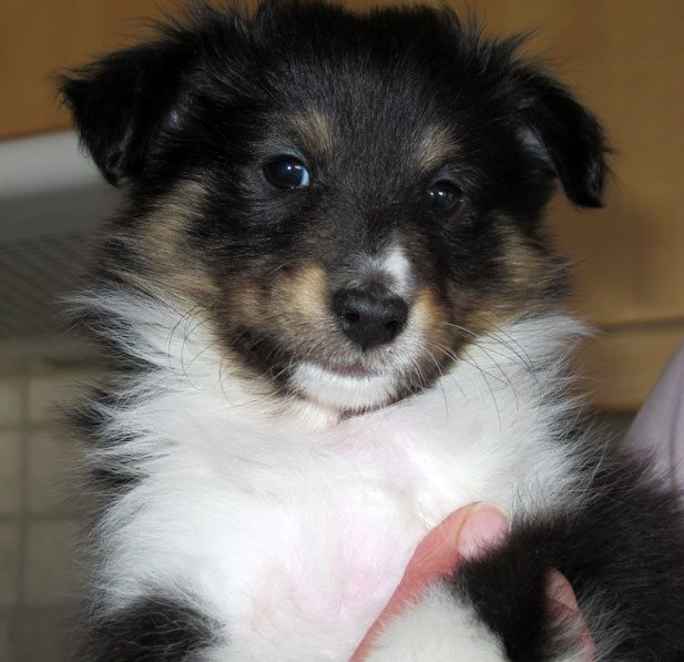 "- Jeg er ""Kompis"" - en bitte liten Shetland Sheepdog. 46 dager gammel. (Foto: John Steffensen)"
