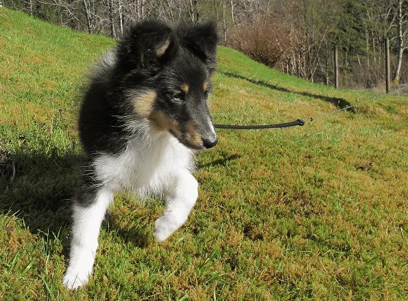Kompis - Eller Tunmark's Hesa er - er en ordentlig gladgutt. Alt er full fart med valpen vår. Nå er han også på full fart rtil å bli stuerein.