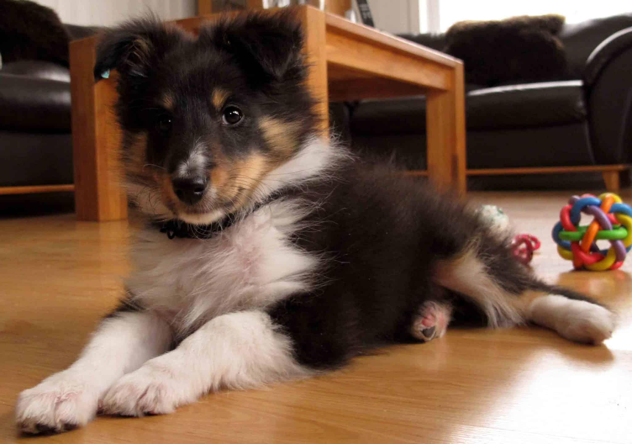 Kompis, 71 dager gammel. Nå han spiser Royal Canins valpefor, blir han mildt sagt hyper. Som om det var speed. (johnsteffensen.no)