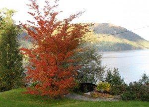 Stewartia pseudocamellia – Verdens vakreste?