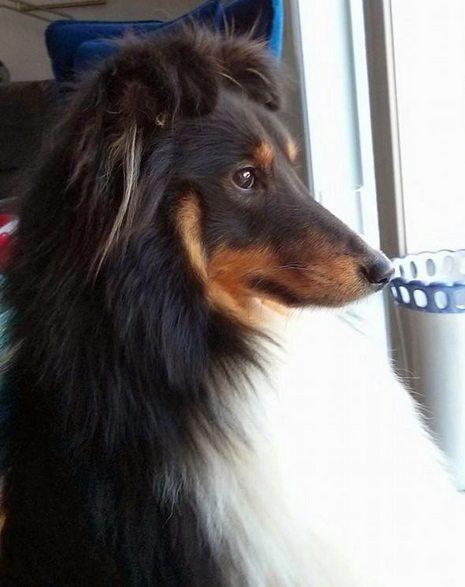 Kompis - umiskjennelig gjeterhund,,, (Foto: Åse Steffensen)