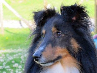 Kompis (Hesa Joker) Tunmark shelties. Foto: johnsteffensen.no