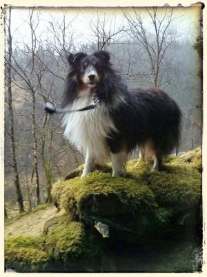 Kompis, vår Shetland sheepdog, er blitt 2 år
