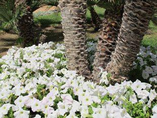 Store grupper med petunia over alt, men samlet som ulike fargeklatter i hagen. Som disse hvite som dekker nederste del av palmenes stammer. (Foto: John Steffensen)