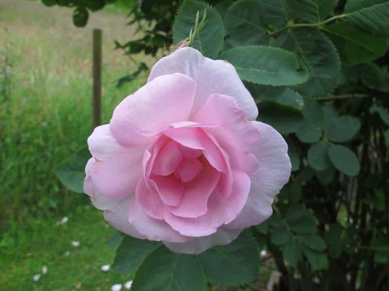 I min hage har jeg blant annet denne skjønnheten: Celestial, en av verdens vakreste roser. I et TV-program om Dronningen av Danmarks slottsparker, ble sjefsgartneren spurt om hvilken rose som var hans favoritt. Han svarte uten å nøle: Celestial. Slik ser min Celestial ut, og det blir helt feil om denne praktfulle blomsten blomstrer forgjeves, dvs. at ingen tar seg tid til å nyte den - og ikke minst kjenne dens vidunderlige duft. Foto: John Steffensen, www.johnsteffensen.no