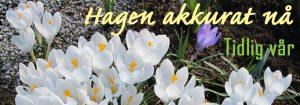 Hagen akkurat nå - Johns hagekalender - Sesong: Tidlig vår. Foto - John Steffensen