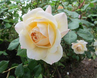 Brunsnegler holder seg borte fra bl.a. rosene. Foto - johnsteffensen.no