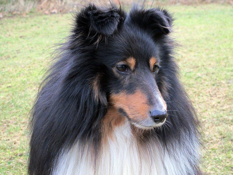 Kompis er av rasen Shetland sheepdog. Han er allerede blitt fire år gammel... Foto - www.johnsteffensen.no