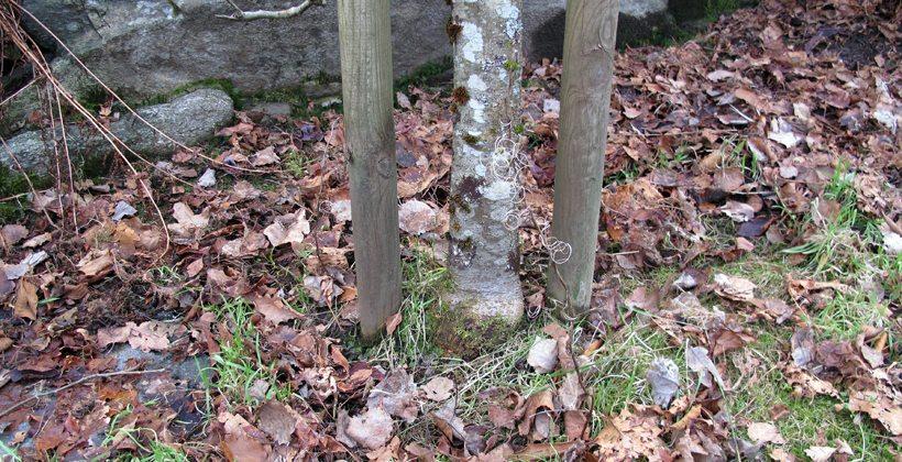 Et av de første tiltakene mot epleskurv i hagen; bort med alt vissent løv rundt epletreet. Foto - johnsteffensen.no