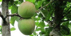 Epleskurv (4) – Kampen mot skurv på eplene i hagen