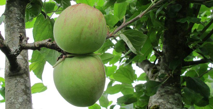 Aroma-epler i starten på august. Foto - John Steffensen