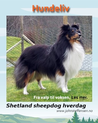 Shetland sheepdog hverdag. www.johnsteffensen.no