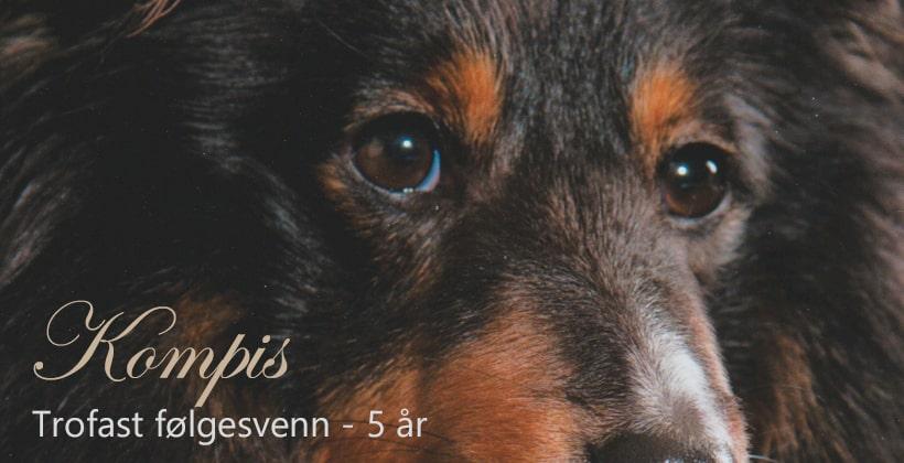 Kompis er nå blitt 5 år gammel. En svært så hengiven og trofast Shetland sheepdog. Foto: Jan Magne Sviland