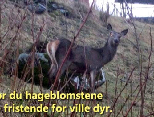 Plaget av hjort eller rådyr i hagen? Hjemmelagd anti-viltspray kan hjelpe…