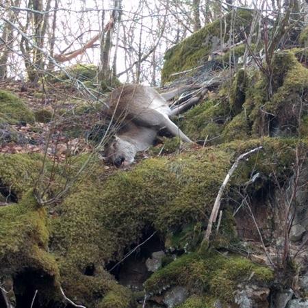 Denne kalven lå død bare tre-fire meter fra moren, som også hadde omkommet. Foto: John Steffensen