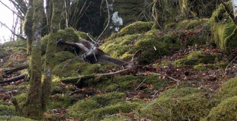 Dyretragedie i Bergen. 24 selvdøde hjort funnet langs en strekning på ca 3 km. Foto: John Steffensen