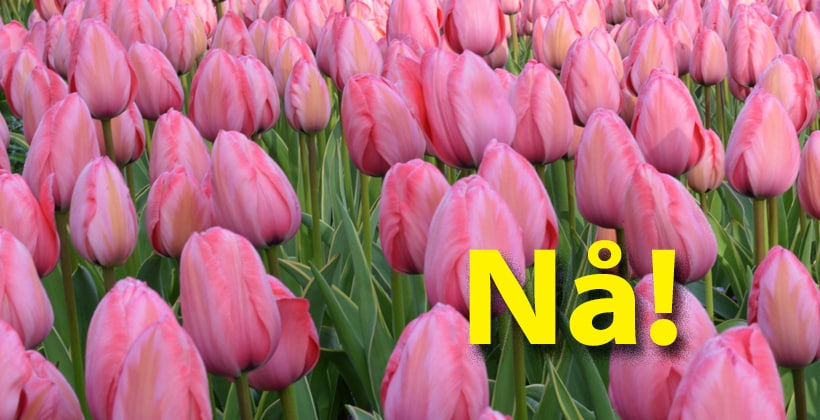 Blomsterløk plantes nå. Da kan du bare glede deg til våren... www.johnsteffensen.no