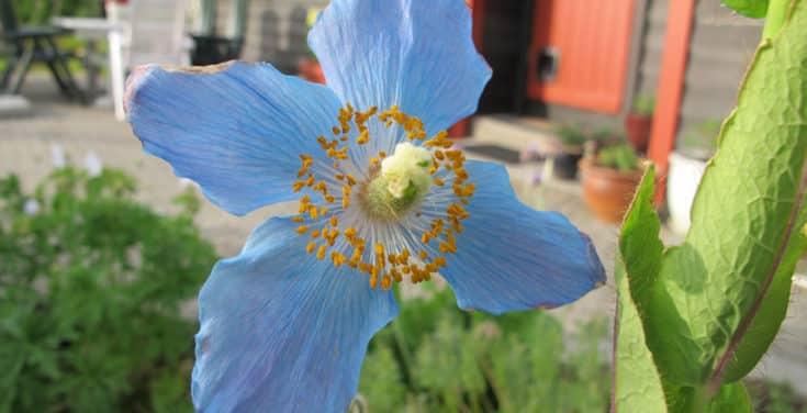 Blå valmuesøster er en solitærplante som fortjener å stå for seg selv. Som her i Minnehagen; Viktors hjørne. Foto: John Steffensen for www.johnsteffensen.no