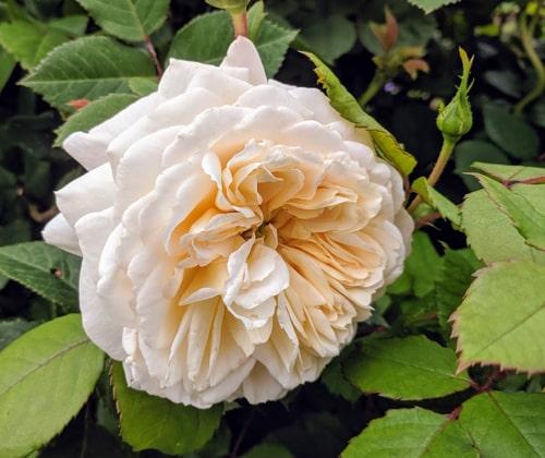 Crocus Rose er dagens rose. Foto: John Steffensen - www.johnsteffensen.no