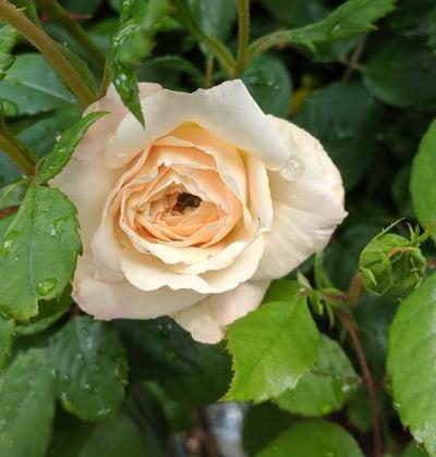 En ny Crocus Rose springer ut. I starten ser den slik ut, men snart folder den seg ut i all sin velde. Foto: John Steffensen for www.johnsteffensen.no