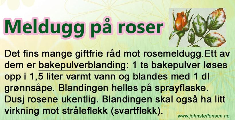 Giftfri metode mot meldugg på roser, www.johnsteffensen.no