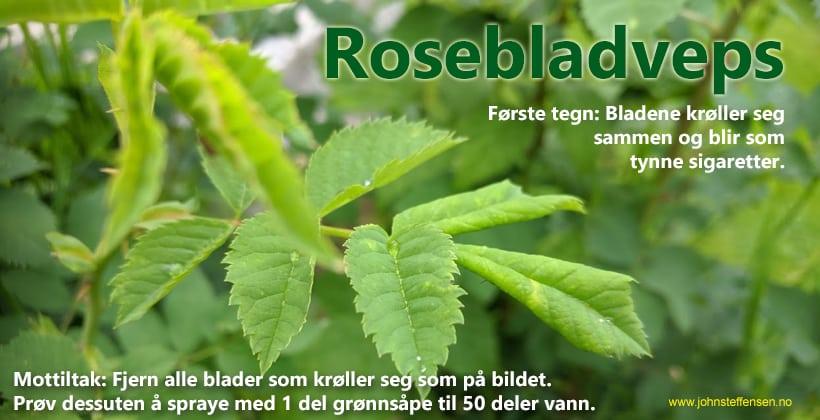 Rosebladveps starter slik. Ser du tegn til at bladene ruller seg sammen, kast dem i søpla! www.johnsteffensen.no