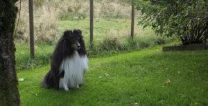 Vår Shetland sheepdog «Kompis» er blitt voksen