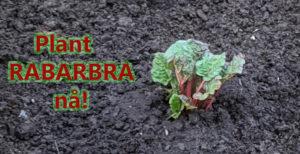 Rabarbra – en perfekt grønnsak