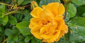 Gold Marie – Klaserose
