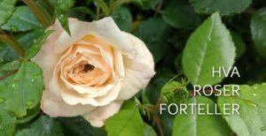 Rosers språk…