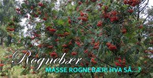 Masse rognebær i år. Sier det noe om vinteren som kommer?